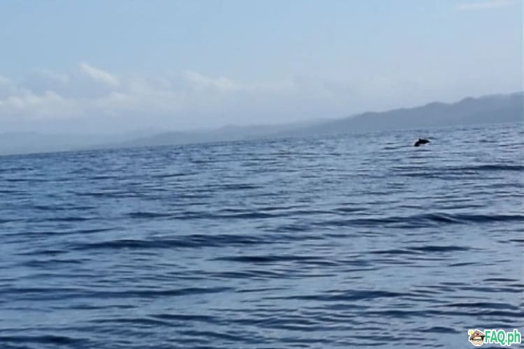 Dolphin in the waters of Palompon