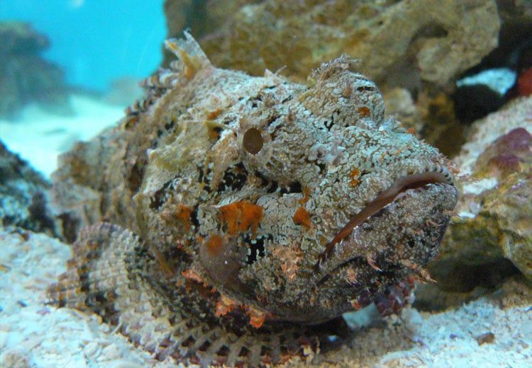 Stonefish in camouflage