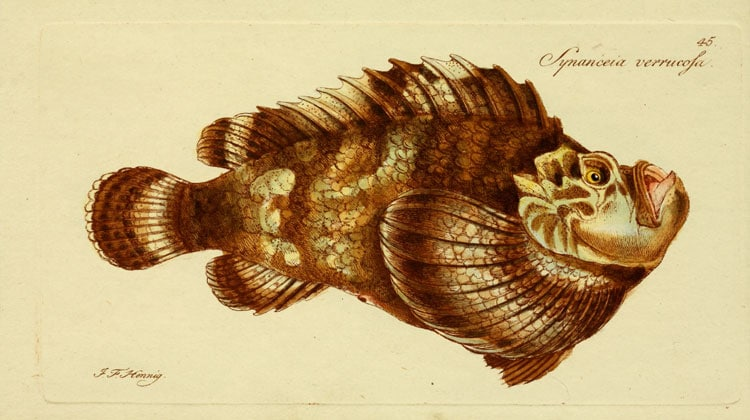 Stonefish species